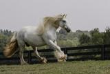 Gypsy Vanner Horse Running, Crestwood, Kentucky Photographic Print by Adam Jones