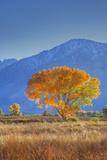 California, Sierra Nevada Range. Backlit Cottonwood Tree in Owens Valley Photographic Print by Jaynes Gallery