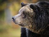 Brown Bear, Grizzly, Ursus Arctos, West Yellowstone, Montana Photographic Print by Maresa Pryor
