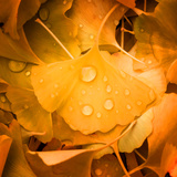 Ginkgo Yellow Leaf Photographic Print by Philippe Sainte-Laudy