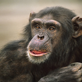 Chimpanzee Headshot, Kenya, Africa Photographic Print by Tim Fitzharris