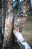 Bobcat on a Fallen Birch Limb Photographic Print by John Alves