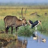 Defassa Waterbuck Drinking, Kenya, Africa Photographic Print by Tim Fitzharris