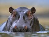 Hippopotamus, Kenya, Africa Photographic Print by Tim Fitzharris
