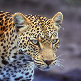 A Leopard Hunting in a Forest in Kenya Photographic Print by John Alves