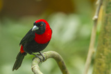 Costa Rica, Sarapiqui River Valley. Crimson-Collared Tanager on Limb Photographic Print by Jaynes Gallery