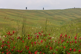 Wildflowers in Rolling Hills Landscape. Tuscany, Italy Photographic Print by Tom Norring
