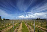 Vineyard Near Blenheim, Marlborough, South Island, New Zealand Photographic Print by David Wall