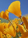 California Poppies, California Usa Photographic Print by Tim Fitzharris