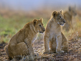 African Lion Cubs Alerted to a Sound, Kenya, Africa Photographic Print by Tim Fitzharris