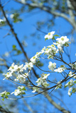Georgia, Savannah, Flowering Dogwood Photographic Print by Lisa S. Engelbrecht