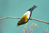 Evening Grosbeak Curiously Looking Around Photographic Print by Richard Wright
