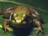 Cricket Frog, Alberta, Canada Photographic Print by Tim Fitzharris