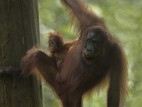 Orangutan Mother with its Baby, Sabah, Malaysia Photographic Print by Tim Fitzharris