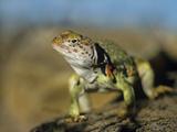 Collared Lizard in Defensive Posture, Arizona, Usa Photographic Print by Tim Fitzharris