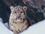 Snow Leopard, Montana, Usa Photographic Print by Tim Fitzharris