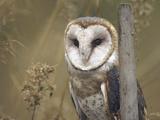 Barn Owl, British Columbia, Canada Photographic Print by Tim Fitzharris