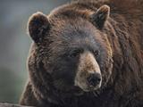 Cinnamon Black Bear. Montana, Usa Photographic Print by Tim Fitzharris