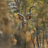 Greater Kudu , Kenya, Africa Photographic Print by Tim Fitzharris