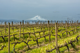 Washington, Columbia River Gorge. Rows of Barbera Grapes with Mt. Hood in Background Photographic Print by Richard Duval