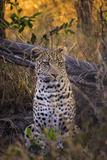Africa, Botswana, Moremi Game Reserve. Sitting Leopard Fotografisk tryk af Jaynes Gallery
