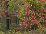 Sweetgum in Autumn at Gillham Lake, Arkansas, Usa Photographic Print by Tim Fitzharris