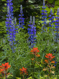 Lupine and Indian Paintbrush Wildflowers, Stillwater State Forest, Montana Stampa fotografica di Chuck Haney