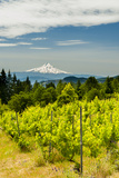 Washington State, Columbia River Gorge. Vineyard with View of Mt. Hood Photographic Print by Richard Duval