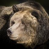 Brown Bear, Grizzly, Ursus Arctos, West Yellowstone, Montana Photographic Print by Maresa Pryor