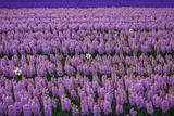 Hyacinth Flower Fields in Famous Lisse, Holland Photographic Print by Anna Miller