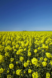 Rapeseed Field, Near Timaru, South Canterbury, South Island, New Zealand Photographic Print by David Wall