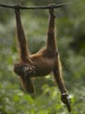 Baby Orangutan Eating Bamboo, Sabah, Malaysia Photographic Print by Tim Fitzharris