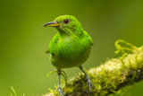 Central America, Costa Rica, Sarapiqui River Valley. Green Honeycreeper Bird on Limb Photographic Print by Jaynes Gallery
