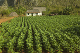 Cuba, Vinales. a Field of Tobacco Ready for Harvesting on a Farm in the Valley Photographic Print by Brenda Tharp