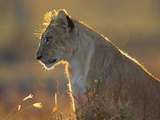 African Lion Cub in the Golden Light, Kenya, Africa Photographic Print by Tim Fitzharris