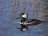 Hooded Merganser, Viera Wetlands, Florida, Usa Photographic Print by Maresa Pryor
