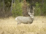 Rocky Mountain Mule Deer Buck on a Rainy Fall Day, Odocoileus Hemionus, Wyoming, Wild Photographic Print by Maresa Pryor