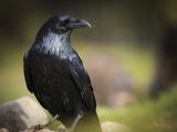 Common Raven, Corvus Corax, West Yellowstone, Montana, Wild Reproduction photographique par Maresa Pryor