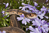 Eastern Garter Snake in Creeping Phlox, Thamnophis Sirtalis Sirtalis, Kentucky Photographic Print by Adam Jones