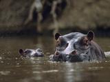 Hippopotamus and Calf, Kenya, Africa Photographic Print by Tim Fitzharris