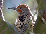 Northern Flicker Woodpecker, Usa Photographic Print by Tim Fitzharris