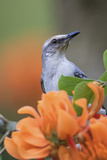 Tropical Mockingbird Photographic Print by Ken Archer