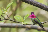 Anna's Hummingbird Photographic Print by Ken Archer