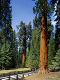 General Sherman Tree in the Background, Sequoia National Park, California Photographic Print by Greg Probst