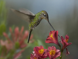 Sword-Billed Hummingbird Drinking from a Flower, Costa Rica Photographic Print by Tim Fitzharris