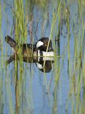 Hooded Merganser, Lophodytes Cucullatus, Viera Wetlands, Florida, Usa Photographic Print by Maresa Pryor