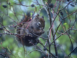 American Red Squirrel Eating Rosehips, British Columbia, Canada Photographic Print by Tim Fitzharris