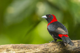 Central America, Costa Rica, Sarapiqui River Valley. Crimson-Collared Tanager on Limb Photographic Print by Jaynes Gallery