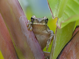Common Mexican Tree Frog, Costa Rica Photographic Print by Tim Fitzharris