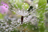 California. Water Droplets on Dandelion and Spider Web Photographic Print by Jaynes Gallery